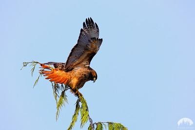 Hawks & Harriers