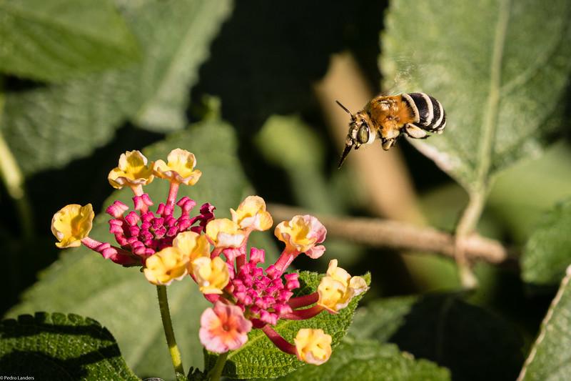 Bee with Big Eyes