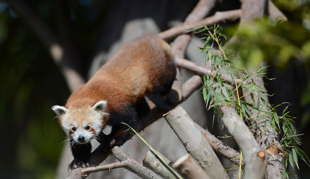""". Tenzing, a red panda, makes his debut in his new habitat at the San Francisco Zoo in San Francisco, Calif., on Wednesday, May 7, 2014. The 10-month old red panda was born at the Sacramento Zoo and was named after the framed Sherpa Tenzing Norgay, who scaled Mt. Everest in 1953 with Sir Edmund Hillary. Tenzing\'s habitat, called The Red Panda Treehouse was designed and built by Pete Nelson and his crew from the  Animal Planet television show \""""Treehouse Masters.\"""" (Dan Honda/Bay Area News Group)"""