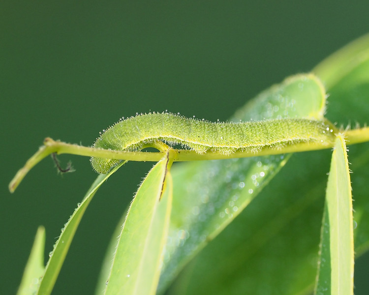 Sleepy Orange, caterpillar