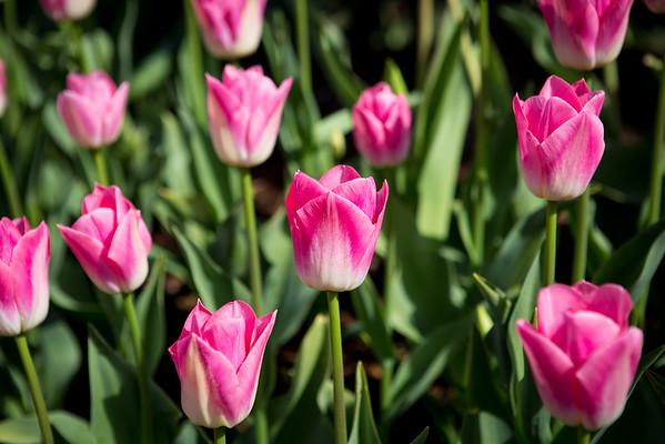 Skagit Valley Tulips, 03-2015