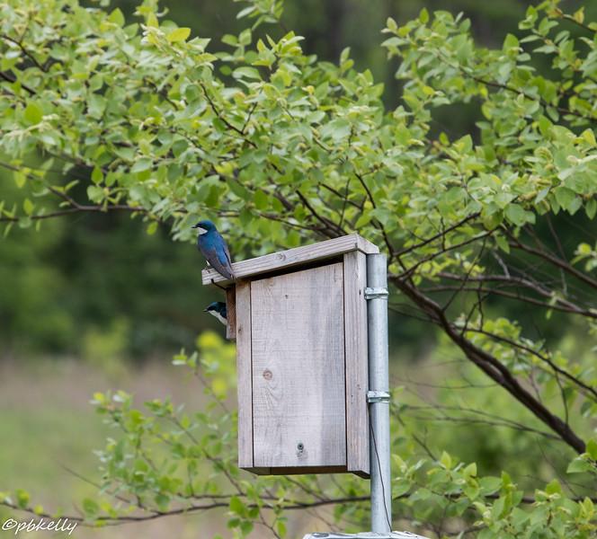 5/26/15.  Tree Swallows taking advantage of a Bluebird box.
