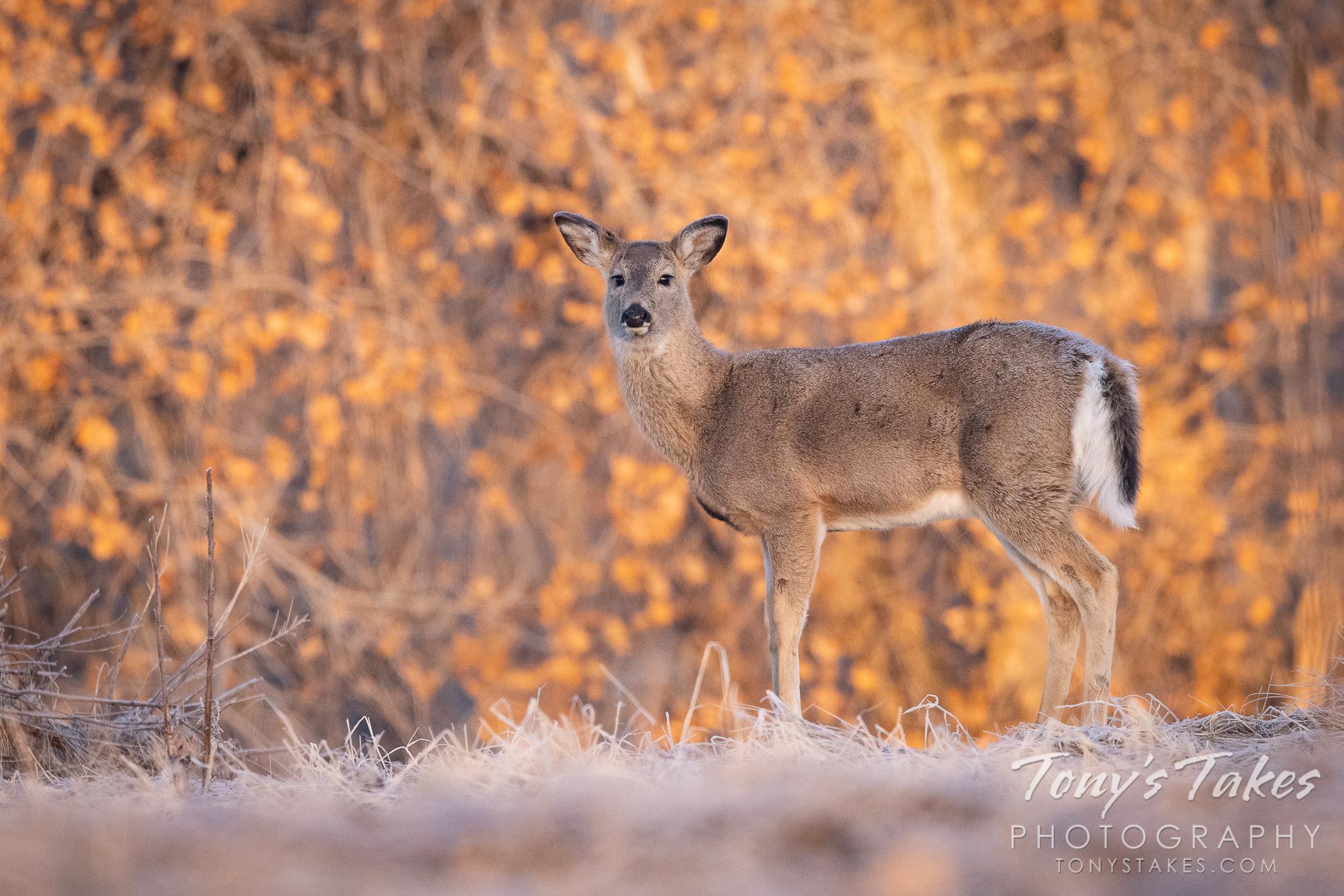 White-tailed deer doe at sunrise