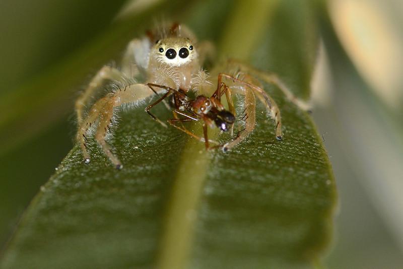 Jumper-kill-ant-mimic-spider.jpg