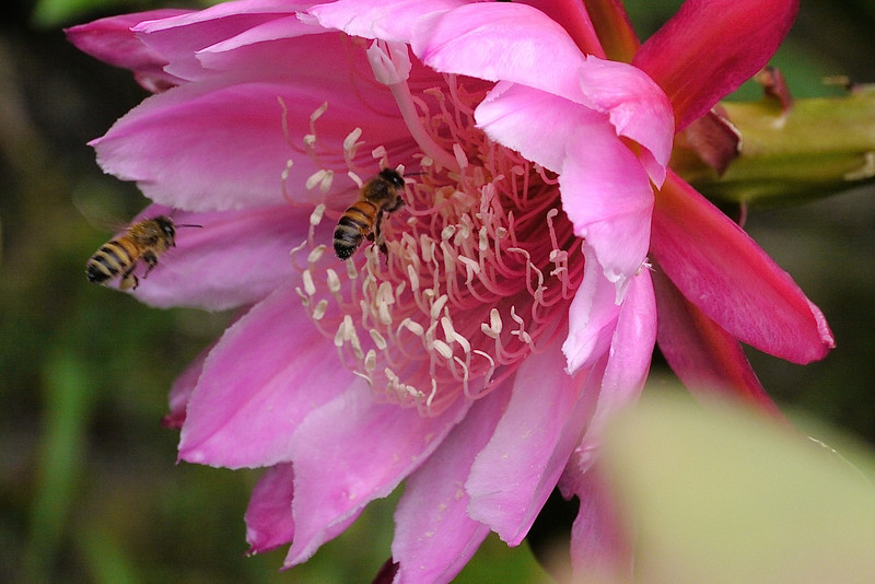 20121121_0753_5258 bees and epiphyllum 昙花
