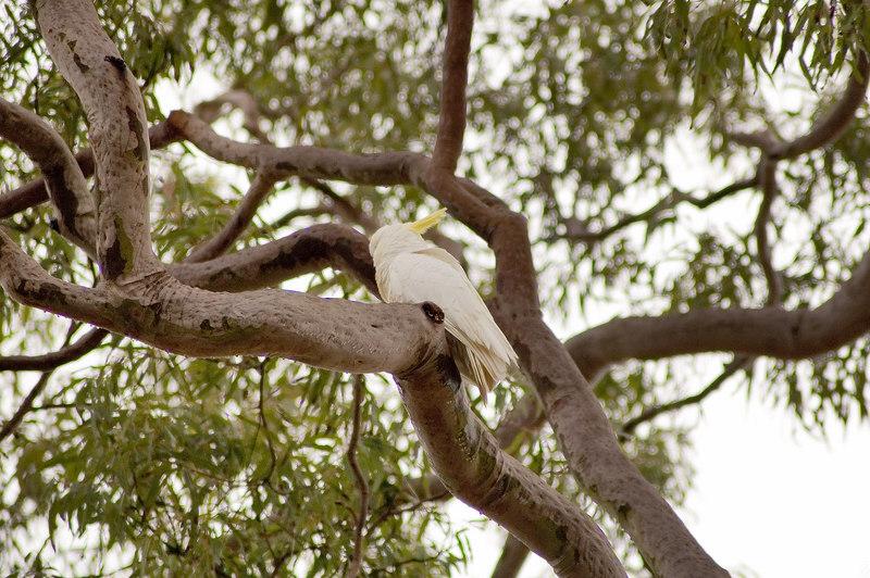 White cuckatoo Kincumber, NSW Australia - 21 Jun 2006