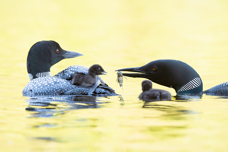 #1234 Common Loons