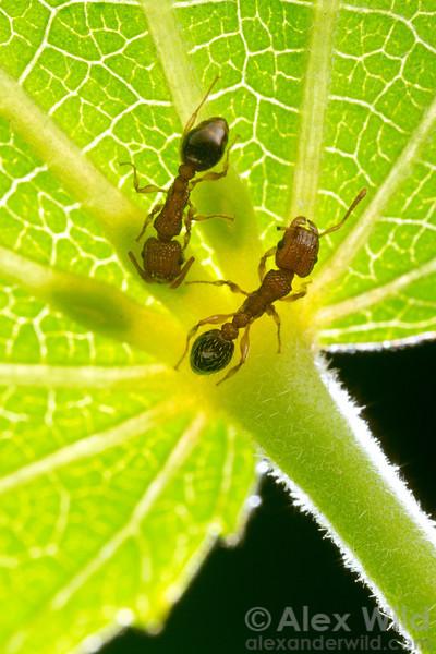 Tetramorium bicarinatum