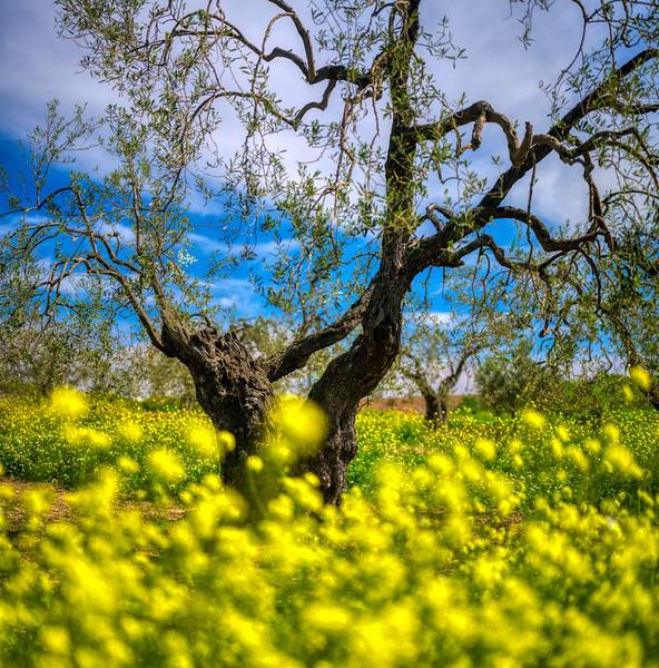 Olive grove in springtime, Seville, Spain.