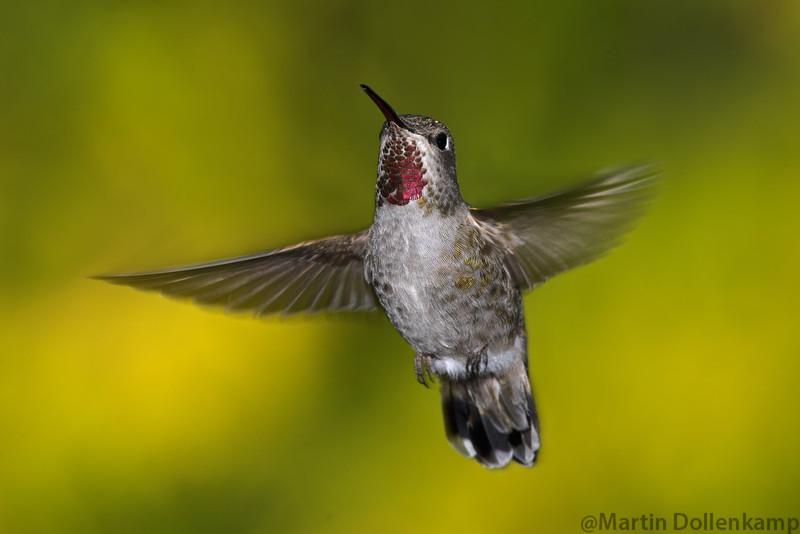 Anna's Hummingbird Calypte anna