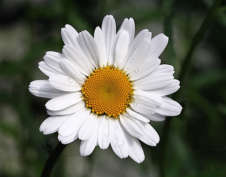 Shasta daisy with rain drops