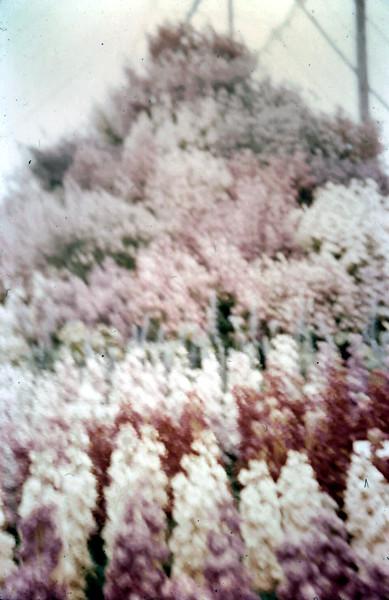 1959-5-29 (20) Chelsea Flower Show.JPG