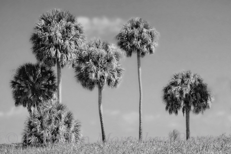 Myakka River Palms 2011-01-09  I tried playing with B&W today with a shot from the archives [I found a whole folder that had never been converted from raw].  This is just a stand of trees along the Myakka River in Florida.  The color version is here: http://jlbarton.smugmug.com/Landscapes/Florida/9954413_S7RCw#1151139025_U8JMt  I like the color version better - but that may only be my reaction to the damp cold grey weather here.  Which do you prefer?  Many thanks for the comments on the State Opera House.  Very encouraging.  The collage was just done with layers over a background, and I tried to align the pictures.