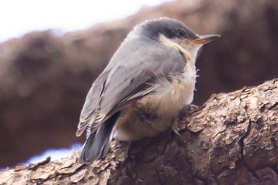 Birds Flagstaff AZ 2018