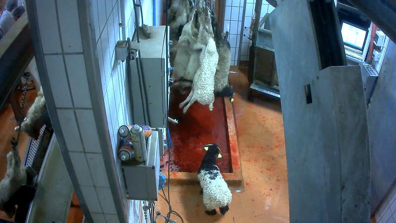 agneaux-chaine-abattage-abattoir-mauleon.jpg