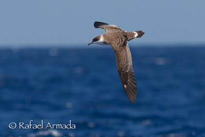 Great Shearwater (Puffinus gravis)