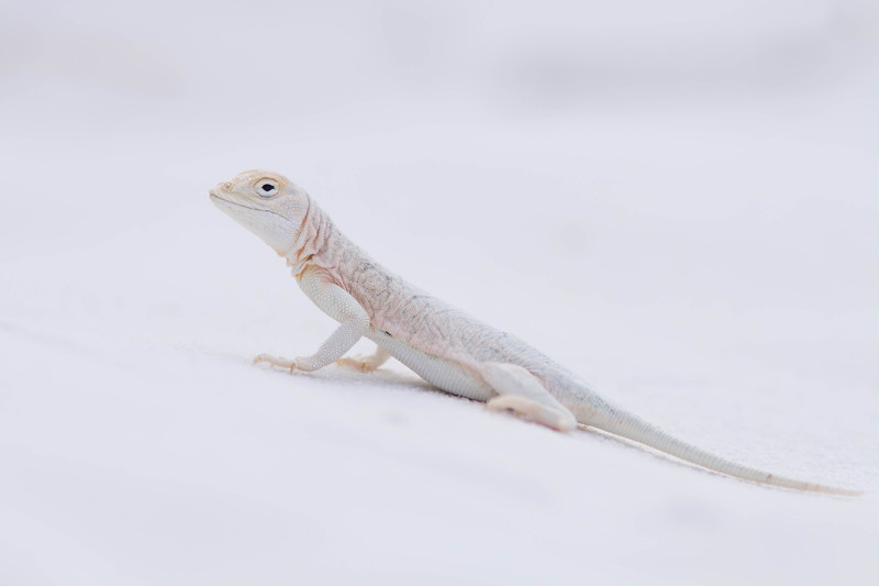 Bleached Earless Lizard, White Sands National Monument