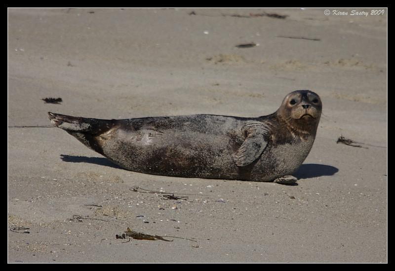 Harbor Seal, La Jolla Cove, San Diego County, California, November 2009