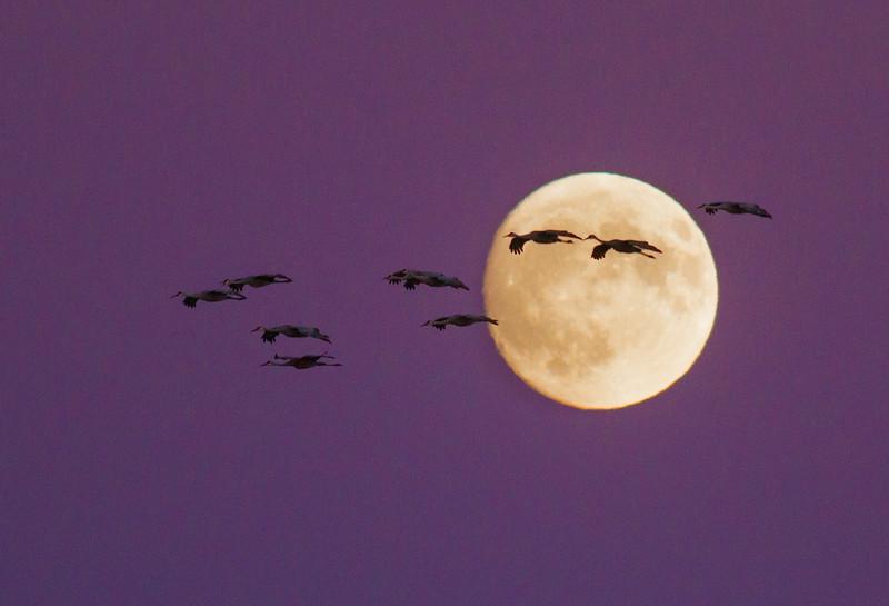Sandhill Crane full moon fly in flight Crex Meadows Grantsburg WI IMG_2181.jpg