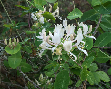 Caprifoliaceae Kaprifolväxter