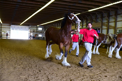 35 565 Mare 3-4 Clydesdale