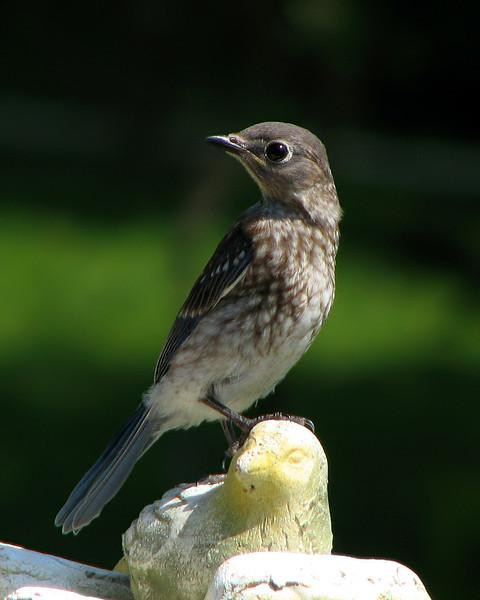 bluebird_fledgling_2944.jpg