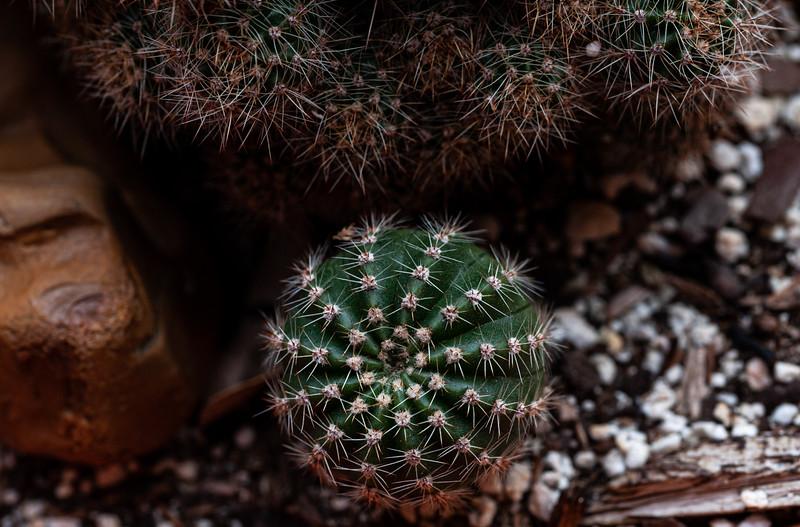 ball cactus-1233.jpg