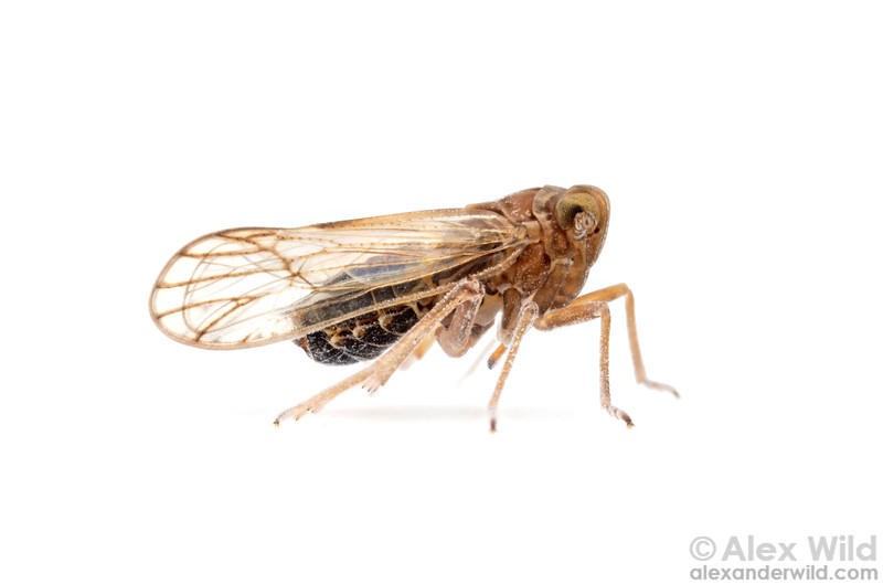 Delphacinae