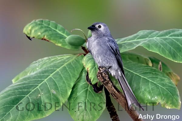 Fantail, Drongo, Monarch Flycatcher & Apostlebird