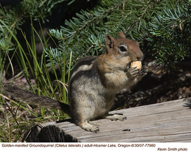 GoldenMantledGroundsquirrel77960.jpg