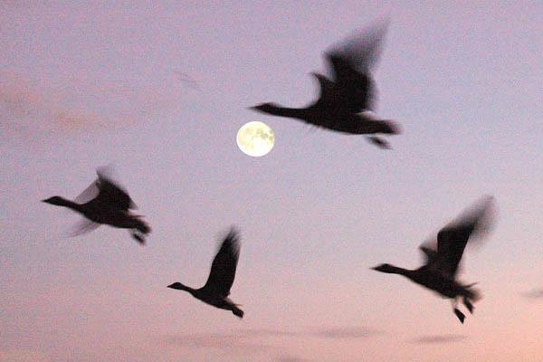 Moon Geese 6 x 4 300 dpi 6884.jpg