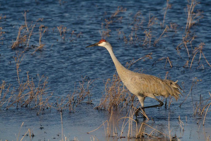 Hundreds of Sandhill Cranes stopover at Crex Meadows in spring [April; Crex Meadows near Grantsburg, Wisconsin]