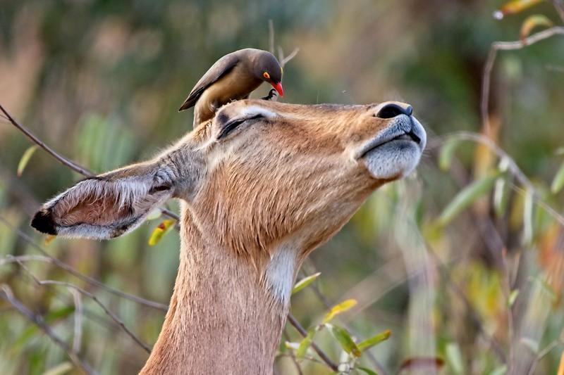 Impala With Oxpecker
