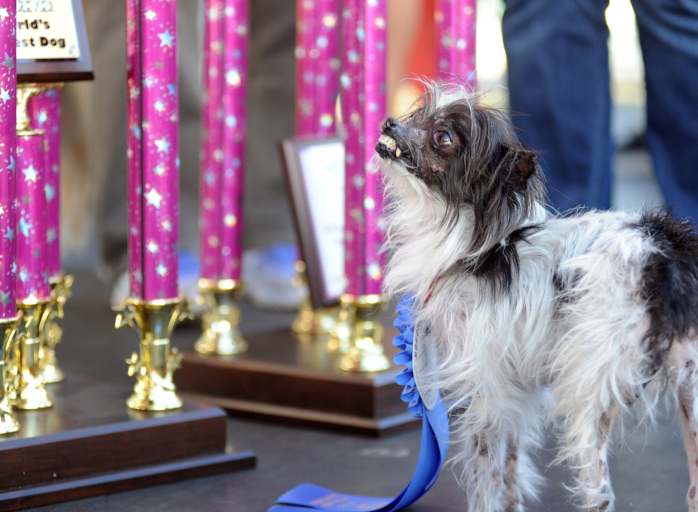 . Peanut, a mutt who is suspected of being a Chihuahua-Shitzu mix, stands near a trophy at the conclusion of The World\'s Ugliest Dog Competition in Petaluma, California on June 20, 2014. Peanut won the competition and was voted the world\'s ugliest dog. (Josh Edelson/AFP/Getty Images)