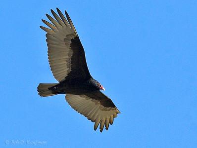 Cathartes aura - Turkey Vulture