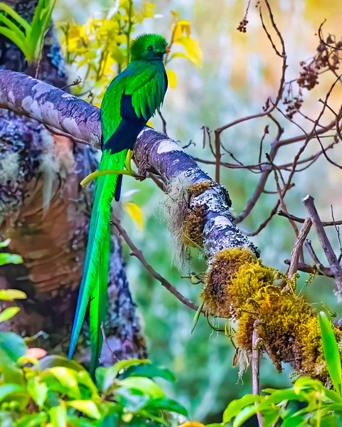 Resplendent Quetzal (male)