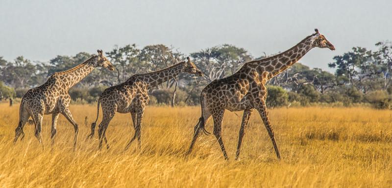 Z_3_2006_B_Giraffes.jpg