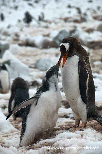Penguin Feeding Her Young - Antarctica