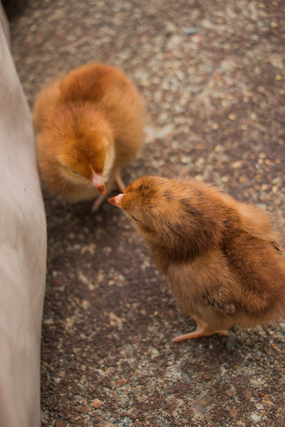 August 16, 2017 Rhode Island Red Chicks (12).jpg