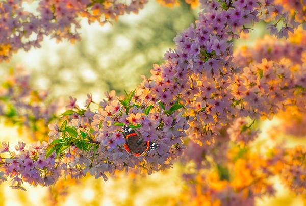 Fine Art natuur foto met lentebloesems wilde kersenbloesem en atalanta vlinder op de roze en lila bloemen.