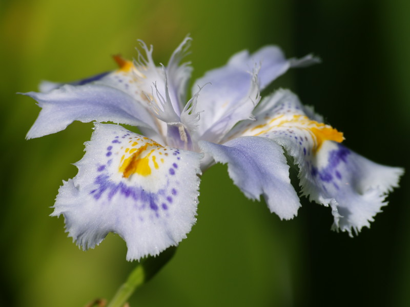 A delicate iris at the Nitobe Memorial Garden on the University of British Columbia.