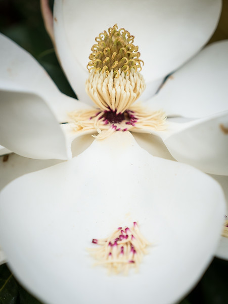 A magnolia gift of Spring