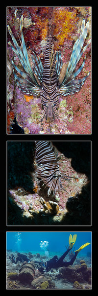 Lionfish in a barrel 2.jpg