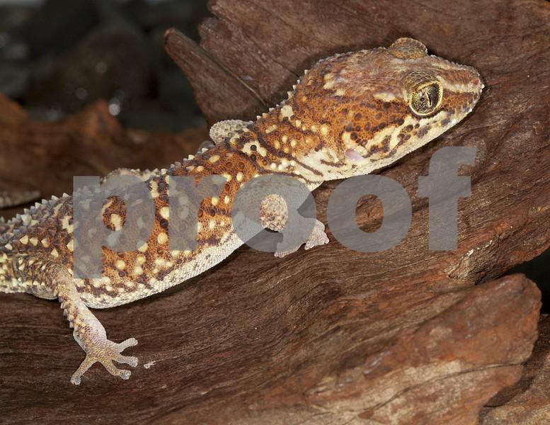 Panther Gecko