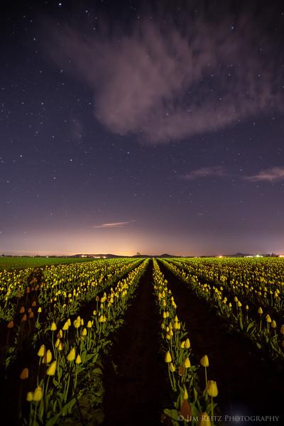 Tulips at midnight, Skagit Valley Tulip Festival