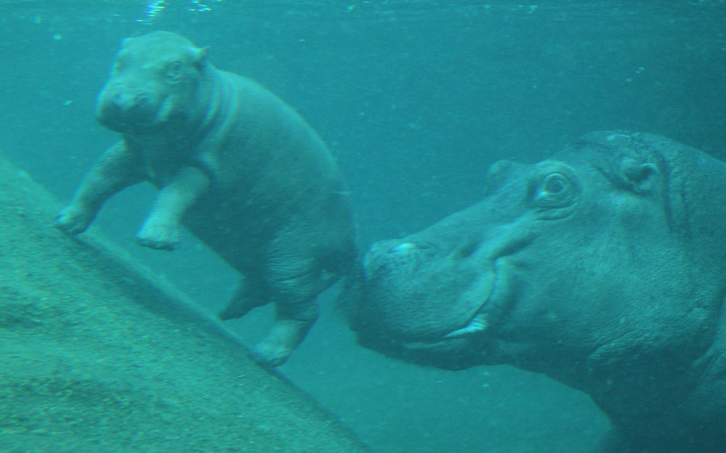 Description of . A baby hippopotamus swims with its mother on the first day it was presented to the public at the Zoo Berlin zoo on November 1, 2011 in Berlin, Germany. The baby hippo was born at the zoo on October 23.  (Photo by Sean Gallup/Getty Images)