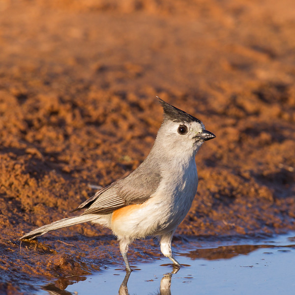 Black-crested Titmouse - Laguna Seca Ranch, Edinburg, TX, USA