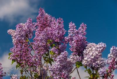 Chiffon Lilac - Syringa x hyacinthiflora 'Chiffon'