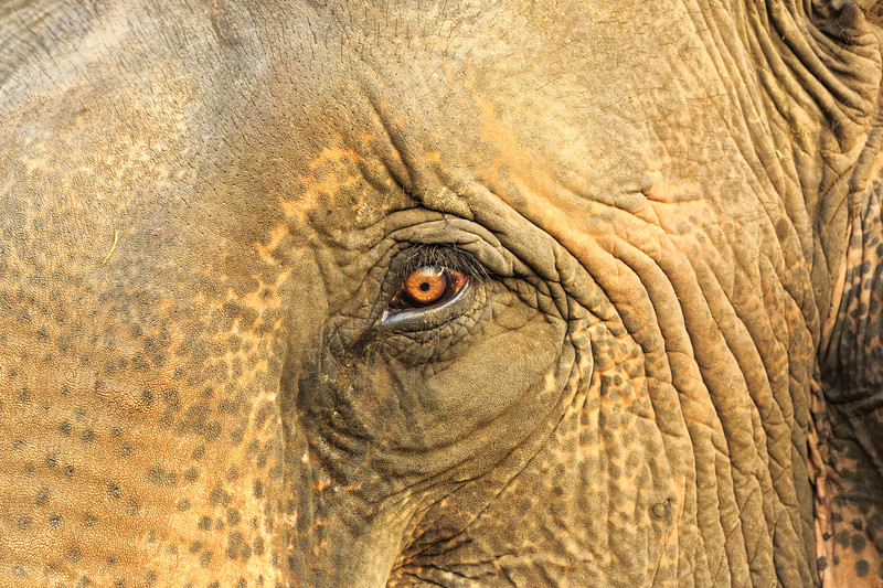Asian elephant eye
