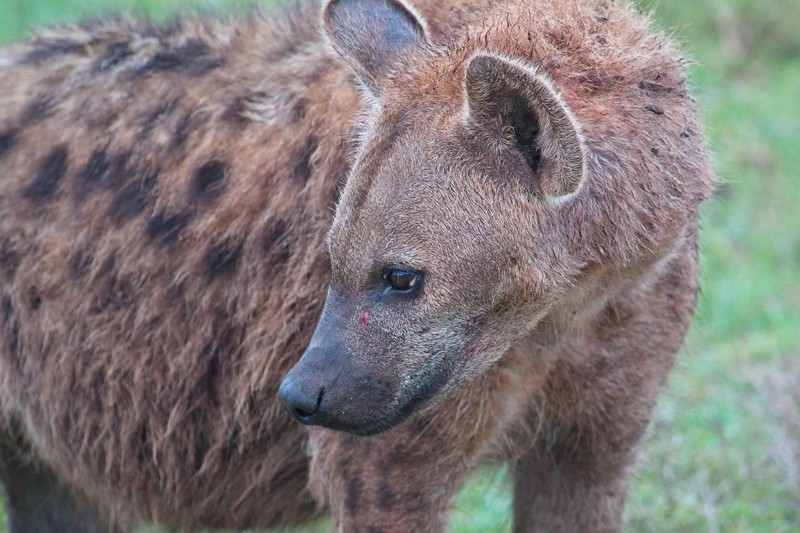 Hyena at a kill